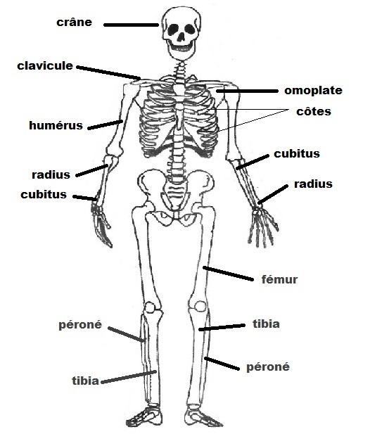 Os du squelette du visage
